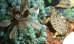 There are numerous types of tortoise, including the Red Footed Tortoise, the African Spurred Tortoise, and the species picked most commonly as pets Terrarium, Happy Turtle, Tortoise Care, Pets 3, Tortoises, Kraut, Pet Care, Animals And Pets, More Fun