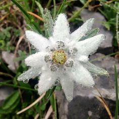 Edelweiss, Mountains of Salzburg, AUSTRIA