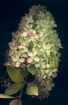 Hydrangea peegee 350 by horticultural art, via Flickr,,,,,YES J ADORE POR MY GARDEN EN ALICANTE-SPAIN,,,,,**+