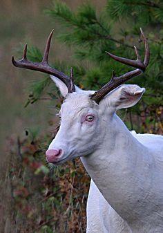 "Whitetail Deer Broken Ear ""Ghost of the Darkness"" Albino Whitetail Buck! Albino Deer, Rare Albino Animals, Beautiful Creatures, Animals Beautiful, Whitetail Deer Pictures, Melanistic Animals, Big Deer, Deer Family, Animal Kingdom"