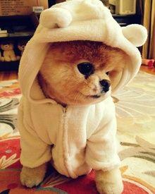 Dress up time!! #racefortherescues #rescuetrain #rescuetrainoc #rescuedogs #rescue #dogdressup #petdressup #petcostume #costumecontest #cutedog #adorable #puppy #adopt #donate #sponsor #oc #pomeranian #puppyeyes #dog #puppylove
