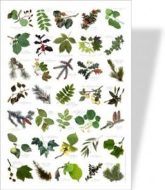 Tree Identification by Leaf Chart to leaves of virginia trees for use with the 4 h tree identification . Trees And Shrubs, Trees To Plant, Garden Trees, Garden Plants, Tree Leaf Identification, Nature Posters, Nature Study, Tree Leaves, Just In Case