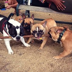 Another silly stick picture from our Doogleplex frenchie meetup yesterday @pia_and_fin_thefrenchies @brixthefrenchie @vincenzopepito, French Bulldogs at the Dog Park