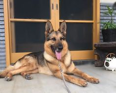 神奈川県 中郡 Nさまのワンちゃん ゆったりと寛ぐジャーマンシェパードの GREY君 です 警察犬を引退したワンちゃんです。