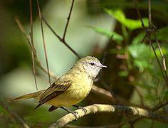 Piolinho ( Phyllomyias fasciatus)