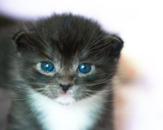 Photograph of Adorable Blue Eyed Rescue Kitten