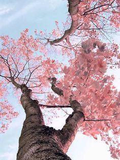 Increíble y hermosa vista de un árbol de cerezos