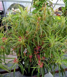 Rhododendron stenopetalum 'Linearifolium', 1 from Woodlanders