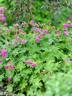 bigroot geranium (Geranium macrorrhizum) deer typically pass these shade flowers by in search of tastier morsels. These colofrul shade plants put on a spring show with pink or white flowers; Bigroot geranium is hardy in Zones and grows 2 feet tall. Best Perennials For Shade, Flowers Perennials, Planting Flowers, Flowers Garden, Zone 4 Perennials, Lavender Garden, Flower Gardening, Shade Flowers, Shade Plants
