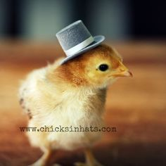 www.chickensinhats | babie chick with a top hat- i want 3 | Baby Chicks With Hats