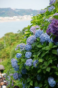 Hydrangea, Jojuin Temple, Kamakura, Kanagawa, Japan. Its legit gorgeous. PIctures don't do it justice