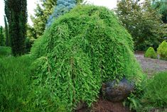 weeping trees | Evaluating Weeping Bald Cypress Cultivars | What Grows There :: Hugh ...