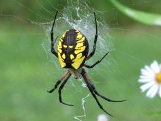 BLACK YELLOW GARDEN SPIDER (TijgerSpin)