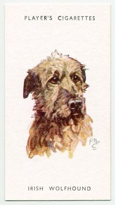 Irish Wolfhound. From New York Public Library Digital Collections.