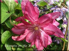 Clematis 'Kaen' just ordered this for myself from Brushwood.