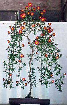 JPB:Bonsai Collection 7   kiku3.