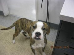HAMMER-ID#A666324    My name is HAMMER.    I am a neutered male, brown brindle and white Pit Bull Terrier mix.    The shelter staff think I am about 2 years and 2 months old.    I have been at the shelter since Aug 16, 2012.