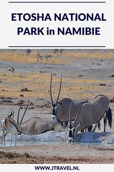 Een must do als je in Namibië rondreist, is een (meerdaags) bezoek aan Etosha National Park. Etosha National Park is het bekendste nationale park om wildlife te spotten in Namibië. Ik heb hier onder begeleiding van een ranger in een 4x4 een gamedrive gemaakt en veel wild gespot. Rijd je mee met deze gamedrive door het Etosha National Park? #etoshanationalpark #wildlife #gamedrive #namibie #jtravel #jtravelblog
