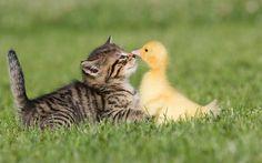 Download Wallpaper x Friendship Grass Kitten Duckling