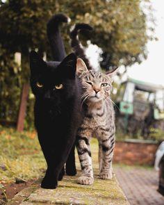Cat body language: shrug tail and rub chin - Animals - . - Cat body language: shrug tail and rub chin – animals – # Cat& body language - Animals And Pets, Baby Animals, Funny Animals, Cute Animals, Cute Cats And Kittens, Cool Cats, Kittens Cutest, Kitty Cats, Kittens Playing