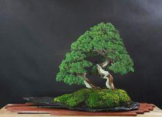 Powerful Shari, Brilliant Pot & Upside Down Maple | Bonsai Bark