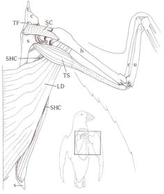 Bird Wing Muscle Anatomy Right wing of an atlantic