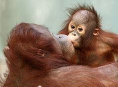 Orangutan baby Changi kisses his mother Lea at the zoo in Krefeld, western Germany Picture: DDA Animals Kissing, Cute Baby Animals, Animals And Pets, Funny Animals, Funny Cats, Primates, Mammals, Beautiful Creatures, Animals Beautiful