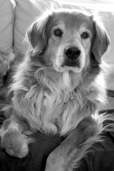 """""""While Will Greyson was working away at his stained glass shop, his golden retriever, Tuck, waited faithfully for his return every day at the same street corner near their home in Lone Oak, Texas. After Greyson was killed by a drunk driver in June 2007, Tuck continued to wait for him. Three years and 9 months later, the dog continues to wait. Greyson's son, Dillon, says he doesn't think Tuck will ever give up."""" <3 Golden retrievers are the most loyal, loving pets."""