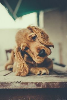 Golden Cocker Spaniel, Cocker Spaniel Puppies, English Cocker Spaniel, Cute Puppies, Cute Dogs, Dogs And Puppies, Doggies, Crazy Dog Lady, Dog Photography