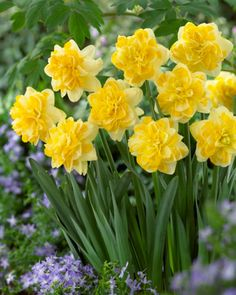 Bright sunny yellow centers, with softer yellow petals. Cheerful 8 bulbs