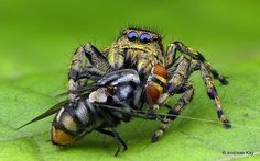 https://flic.kr/p/24G5etQ | Jumping spider, Salticidae & Fly | watch my VIDEO at rumble.com/v4hc3z from Ecuador: www.flickr.com/andreaskay/albums
