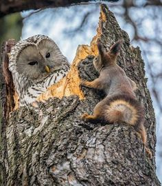 Owl looking at red squirrel climbing tree