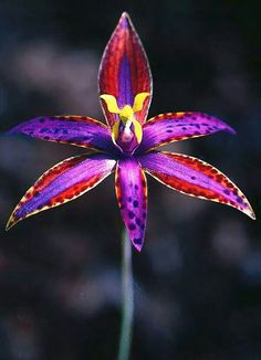 Queen of Sheba Australian native orchid. #orchid