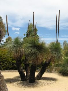 robble at zip: Grass Trees - Xanthorrhoea - at Cranbourne