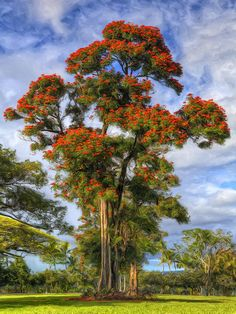 African Tulip At Liliuokalani Park,Hilo, Hawaii...saw this striking tree all over..wish we could have it here.