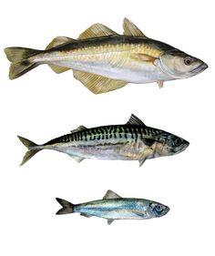 atlantic fish - Pollock, Mackerel, Salmon - Hazel Adams