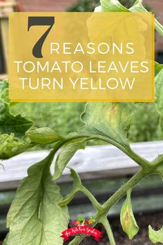 Are your tomato leaves turning yellow? Find out the causes for yellow tomato leaves and how to prevent this from happening to your tomato plants in the home vegetable garden. Tomato Plant Diseases, Tomato Plants, Yellow Leaves On Plants, Plant Leaves, Gardening For Beginners, Gardening Tips, Tobacco Mosaic Virus, Yellow Tomatoes, Herb Garden Design