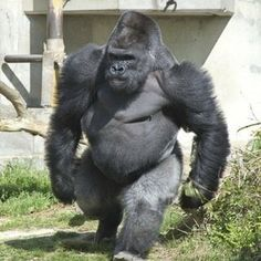 Oh, it's just a silverback gorilla mocking humans. Nature Animals, Animals And Pets, Funny Animals, Cute Animals, Angry Animals, Strange Animals, Primates, Mammals, Majestic Animals