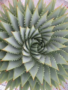 Its Tequila Tuesday and today were celebrating the beautiful Agave plant - - - StraySwallow via