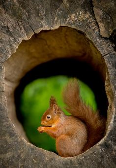 l0stship:  Red Squirrel - In The Hollow Log - by George (source)