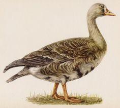 Vintage Bird Print White Fronted Goose Print by plaindealing