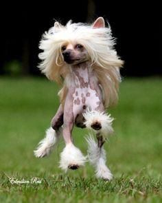 Dude she has better hair than I do! Lol!  Chinese crested dog | Foto Chinese Crested Dog                                                                                                                                                      More