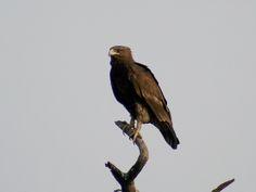 De bastaardarend (Clanga clanga synoniem: Aquila clanga) is een middelgrote arend. Arenden of adelaars zijn dagactieve, middelgrote tot grote roofvogels met meestal brede vleugels, stevige snavel en scherpe klauwen (nagels). …