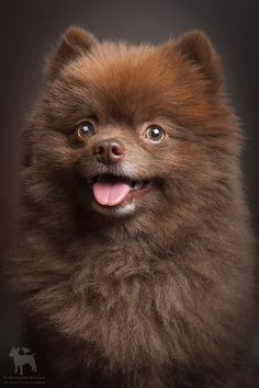 adorable chocolate color spitz ♥♥♥  #dogs #dogsperts #pets #animals #love #doglovers #cute #cuteness #cuteanimals #puppies #pup #pups #buzzfeed #fun #happiness #spitz #pomeranian
