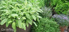 Herbs in a terracotta pot