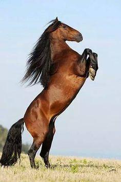 Rearing up Berber horse