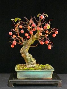 Crab apple (Malus spectabilis) Bonsai progression. Bonsai trees with fruit are the best. They change so much during the seasons. These progression picture are really nice.