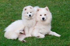 samoyeds | Severnaya Samoyeds - Current Dogs