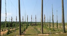 Growing hops to sell to local breweries