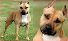 American Pit Bull Dog Obedience Training -- (Yes Here) #DogObidience